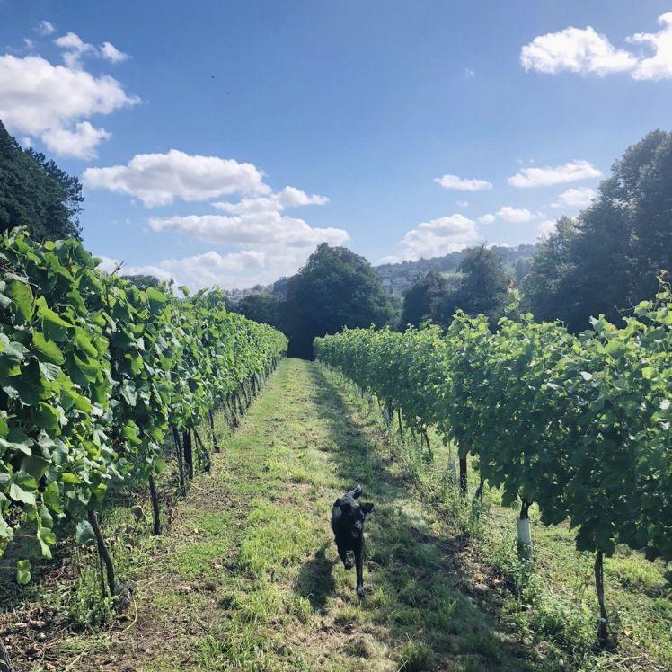 Vineyard Tour and Dog Walk